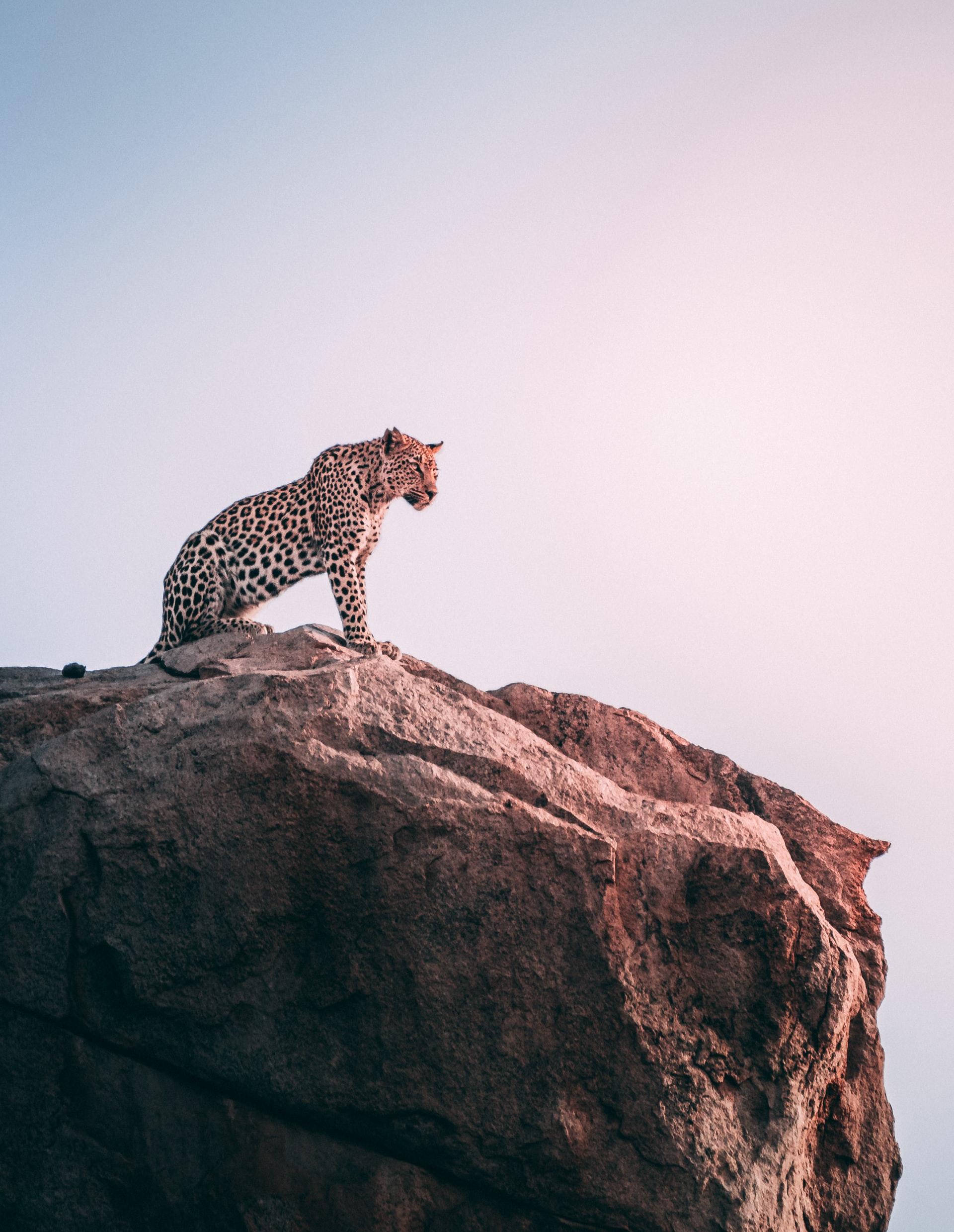 un jaguar en hauteur dans la savane