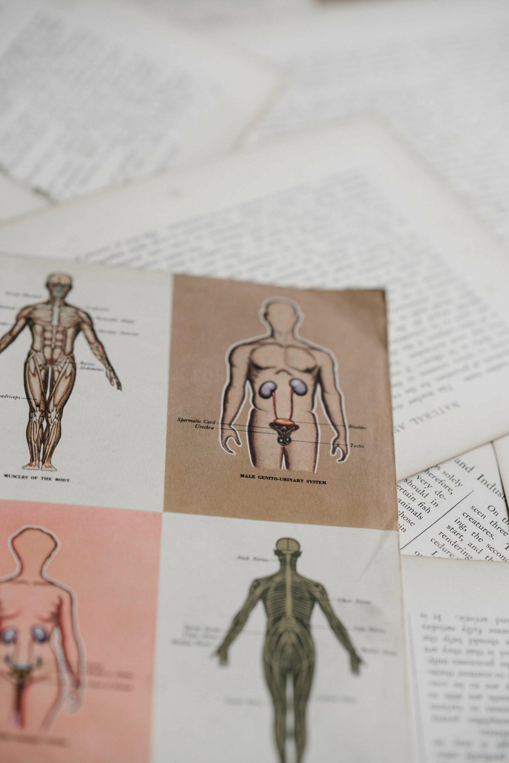 une page décrivant les canaux sanguins du corps humain