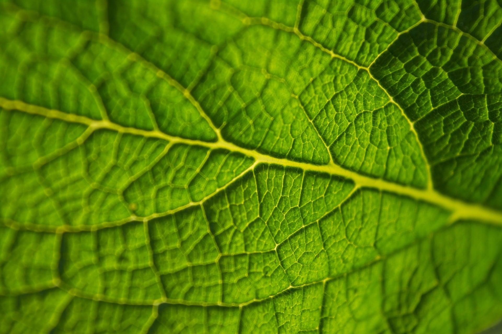 une feuille verte produisant de la photosynthèse